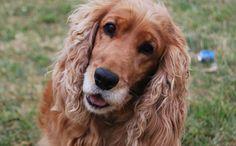 Zoom sur une #race : le #Cocker anglais ! Découvrez toutes les spécificités de cette race de #chien ICI ==> http://fr.yummypets.com/wellbeing/article/54010-zoom-sur-une-race-le-cocker-anglais