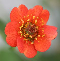 "Geum magellanicum. Straight from a seed collector in Chile, this mucho-tough, long-lived, low-maintenance perennial will win you over. Endearing scarlet-orange flowers may be 1"" small, but are mighty in number & just keep coming Spring thru mid-Summer on 3' stems, especially with deadheading. To 30"" high & wide with a tidy low, 1' mound of rich shiny & toothed green foliage. Best in well-drained soil with some compost added."