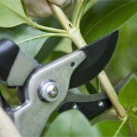 Jak správně provést letní řez ovocných stromů