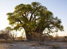 Photograph by @sarahpolger // Morning light falls on Chapmans Baobab tree in the Makgadikgadi Pan in Botswana. The giant tree was once used as a landmark for explorers traveling through the region. It is said the tree may have served as a post officetravelers would leave letters in the trunk of the tree hopeful another travel would deliver the letter to a final destination.  In partnership with @Experiencebotswana @botswana_tourism #botswana #experiencebotswana #Lostinbots #takemethere…