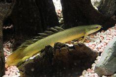 Polypterus senegalus (Bichir)