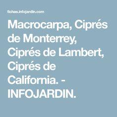 Macrocarpa, Ciprés de Monterrey, Ciprés de Lambert, Ciprés de California. - INFOJARDIN.