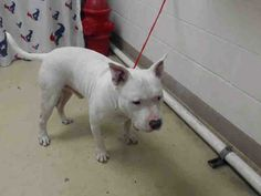 This DOG - ID#A468964 - URGENT - Harris County Animal Shelter in Houston, Texas - ADOPT OR FOSTER - 2 year old Male Bull Terrier mix - at the shelter since Sep 23, 2016.