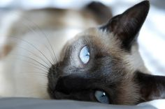 Siamese cats are beautiful. pets-animals