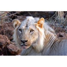 Face of feeding lion Meru Kenya Canvas Art - Kymri Wilt DanitaDelimont (34 x 23)