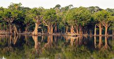 Floresta de igapós nas margens do rio Igapó-Açu. A Amazônia abrange 4,2 milhões de km², o que representa quase 50% do  território brasileiro. Sua formação vegetal inclui florestas densas e abertas, campos alagados, florestas estacionais, várzeas, florestas de igapó, entre outros. O bioma é foco de estudo, sendo que em 2013 uma pesquisa descobriu uma nova espécie de animal mamífero, uma anta ainda não conhecida.  Conheça a fauna e a flora de diferentes biomas brasileiros - Fotos - Meio…