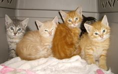 Foster!! is an adoptable Tabby - Orange Cat in San Carlos, CA. Foster Parents are always needed to help us rescue more homeless kitties - just like the ones pictured (Note: the kittens pictured have a...