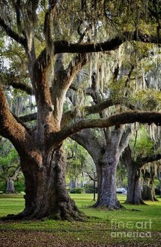 Live oaks and spanish moss thrive while humans ferment in the heat and humidity.until they (the humans) are rejuvenated by the live oaks and spanish moss Leave Art, Live Oak Trees, Spanish Moss, Sweet Home Alabama, Tree Forest, Down South, Southern Belle, Southern Drawl, Southern Charm
