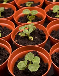 Geraniums from seed (landscaping plants seed starting) Propagating Geraniums, Growing Geraniums, Geraniums Garden, Growing Flowers, Garden Plants, Planting Flowers, Herb Garden, Geranium Care, Geranium Plant
