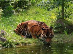 Detail view of a drinking Tiger on a lake