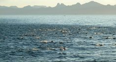 Super Pod of Dolphins in Sea of Cortez