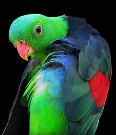 Red Winged Parrot – New South Wales, Australia, by Michael Sheridan.