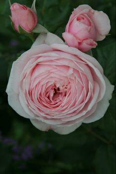 ~Large-flowered Climbing Rose: Rosa 'Nahema' (France, 1991)