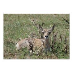 A0007 Baby Pronghorn Antelope Poster - Flatlandersam
