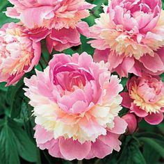 Breck's Wholesale Bulbs - Premium Holland Bulbs, Flower Bulbs, Tulip Bulbs, Daffodils, Irises, Lilies, Allium Bulbs, Hyacinths, Dutch Bulbs and more!