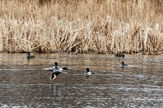 A Northern Shoveler coming in for a landing. It is always fun to watch the different ducks come down on the water for a landing. They drop their feet and go sailing across the water and somehow they never run into each other.