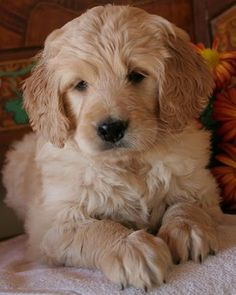 I'm a cat lover... but I saw a full-grown golden doodle in the park last weekend & it was love at first sight! It's part golden retriever + part poodle, hypoallergenic.