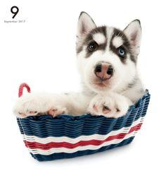 Artlist Collection THE DOG Siberian Husky calendar