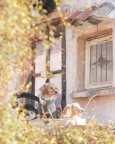 . . . おとぎの国に 入り込んだような ラブちゃんとクレア❤️ . 異人館街でメルヘンチックな お家を見つけたよ♪ . 素敵な王子様に会えるといいねっ 🐶🐶✨⤴︎ . . . 異人館街にて #カニンヘンダックス#ダックス #ダックスフンド  #ミニチュアダックスフンド #dachshund #dachshundlove #igersjp  #愛犬#犬のいる暮らし #🐶見知り犬部  #west_dog_japan#todayswanko #inutokyo#whim_life#whim_fluffy
