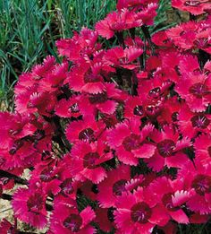 Dianthus- I love having these in my garden because each year the blooms are so thick!