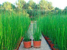 Vivers Barri | Equisetum hyemale