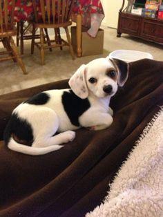 Chihuahua + Beagle