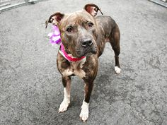 SAFE 5-2-2015 --- Manhattan Center SHIRLEY – A1034175 FEMALE, Y BRINDLE / WHITE, AM PIT BULL TER MIX, 1 yr STRAY – EVALUATE, NO HOLD Reason STRAY Intake condition EXAM REQ Intake Date 04/24/2015