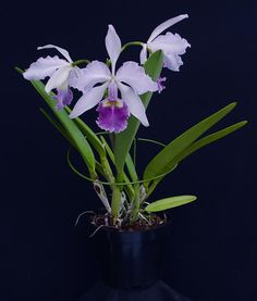 Cattleya warscewiczii coerulea 'Angarita' x self presented by Orchids Limited
