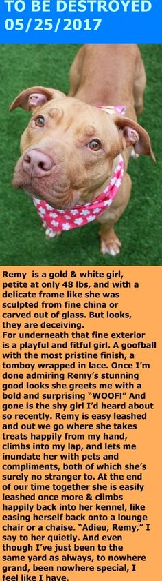 MURDERED 5-25-2017 --- Manhattan Center My name is REMY. My Animal ID # is A1112652. I am a female gold and white am pit bull ter mix. The shelter thinks I am about 2 YEARS I came in the shelter as a STRAY on 05/20/2017 from NY 10029, owner surrender reason stated was STRAY. http://nycdogs.urgentpodr.org/remy-a1112652/
