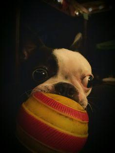 Boston terrier Stella