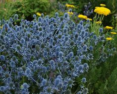 blue thorny flowers - Google Search