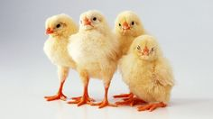 54290, wallpaper desktop chicken