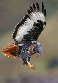 Birds Of Prey, All Birds, Pretty Birds, Beautiful Birds, Animals Beautiful, Beautiful Pictures, Exotic Birds, Colorful Birds, Photo Aigle