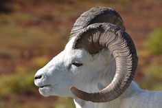 How perfectly beautiful. Dall Sheep in Denali - Animal - Wildlife - Alaska By blmiers2      Dall Sheep in Denali National Park -Animal - Wildlife - Alaska