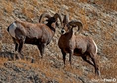bighorn-sheep, a common sight around the city of Kamloops BC