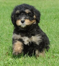 Meet our new puppy, Pixel Morin! He's a Mini Bernedoodle (Bernese Mountain Dog + Poodle). Miniature Bernese Mountain Dog, Bernese Mountain Dog Poodle, Mountain Dogs, Animals And Pets, Funny Animals, Cute Animals, Funny Dogs, Baby Animals, Puppy Pictures
