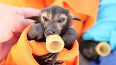 Flying fox babies drink milk of human kindness on trip south