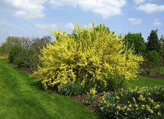The brilliant yellow shock of blooms on the forsythia bush is one of the first oh-so-welcome signs of spring. Once the show is over, this shrub displays attractive green foliage. Forsythia can be pruned into a hedge or left natural, and will reliably bring joy to your yard every spring.