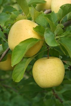 Yellow Delicious apples / buy stark bros starkspur golden delicious = the spurs allow fruit to form on each limb unlike other golden delicious trees that only bear on the outside limbs //cold-hardy and heat-tolerant /ripens in late September / self-pollinating / great pollinator for other trees