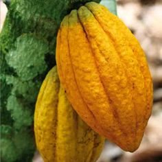 Cacao trees typically do not begin to bear fruit until they are 6 - 8 years of age. Cacao trees are generally harvested biannually. One cacao tree can produce over flowers in a year. We may be a little biased here at Santa Barbara Chocolate but