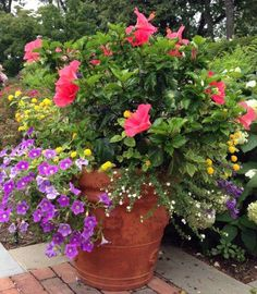 Choose Annual Flower Colors with Maria! Pink hibiscus, purple petunia and yellow lantana in a terra cotta planter.