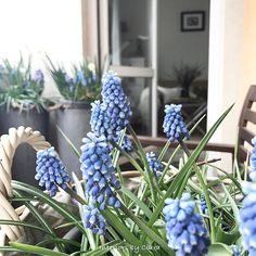 Hello. A few rays of sun light this afternoon I managed to catch on my balcony so I can show you these blue beauties. They make me smile every morning when I prepare my breakfast. 💙Hej. Udało mi się złapać kilka promieni słońca aby pokazać Wam moje niebieskie piękności kwitnące na balkonie. Cieszą oko codzień rano. Czuć wtedy wiosnę 💙