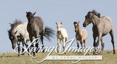 Pryor Mountains, Montana, wild horses, band runs for water