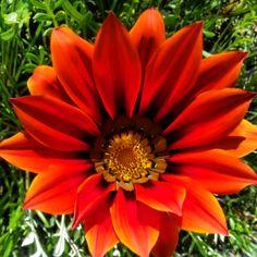 Un fiore del mio giardino..!! A flower of my garden..!! #esperienzegargano #mygarganoexperience #fiori #flower #colori #natura #nature #flora #meraviglie #green #verde #colori_italiani #travel #vacanze #travelblogger #world #worldcapture #red #yellow #papaveri #campagna #fioridicampo