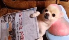 A hardworking chihuahua getting a massage after a long day at the office.