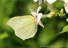 Natuurkieker- Vlinder