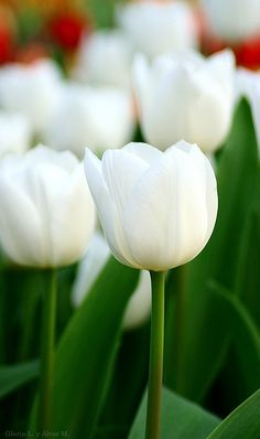 white tulips...plant them with orange poppies for an outstanding spring display