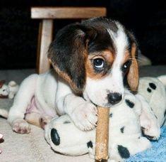 Interesting Beagle Friendly Loyal And Loving Ideas. Glorious Beagle Friendly Loyal And Loving Ideas. Cute Beagles, Cute Puppies, Dogs And Puppies, Doggies, Dogs 101, Baby Beagle, Beagle Puppy, Love My Dog, Bulldog Breeds