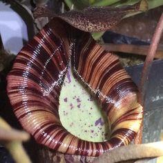 #carnivorousplants #greenhouse #nepenthes by markssirota