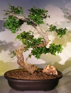 Indoor Bonsai Tree for Sale | Ficus Bonsai & Bonsai How To | Zen Garden Bonsai